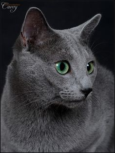 Russian blue cats in san diego