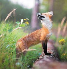 Red Fox by Iza Łysoń on 500px                                                                                                                                                                                 More