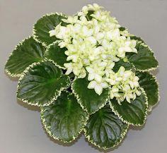 Violeta Africana (Saintpaulia ionantha Wendl.) -  variegata