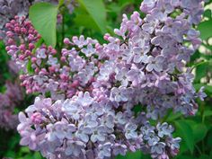 The Common Lilac
