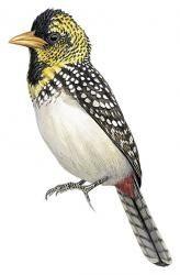 Emin's Barbet (Trachyphonus emini) (Formerly included in Trachyphonus darnaudii)