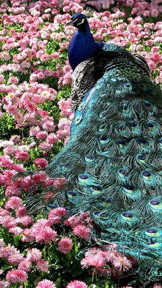 peacock_tail_beautiful_grass_flowers