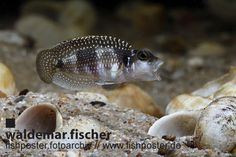 fishposter Fotoarchiv Lamprologus meleagris