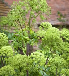 angelica archangelica Beautiful, architectural flowers and equally good seed pods through spring and summer. Green with contrasting crimson-pink stems. Wildlife Gardening, Biennial Plants, Plants, Planting Flowers, Plants Delivered, Cottage Garden Plants, Plants Uk, Seed Pods, Garden Planning