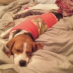 nice beagle in nice snoopy shirt