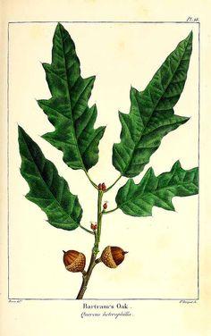158477 Quercus heterophylla F. Michx. / Michaux, F.A., The North American sylva, vol. 1: t. 18 (1817-1819) [P. Bessa]