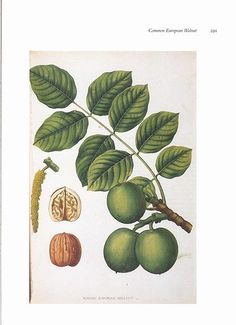 botanical print EUROPEAN WALNUT Tree.  If choosing walnut for your Touch Wood Ring you may be interested to know that Walnut is considered a feminine wood. In touch with the element of earth. Used for cleansing and protection. Used for teleportation, astral travel, weather working, averting lightening.
