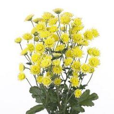 Chrysanthemum Indicum Grp tros kas 'Stallion Yellow&#39…