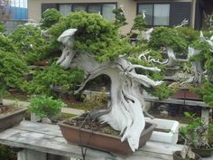 Amit Agarwal How Does A 150 Yrs Old Bonsai Tree Look Like..?