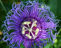 Wild Maypop | 22 Insanely Cool Conversation-Piece Plants For Your Garden. Frazzled and bedazzled! This flower actually thrives in cooler climates, and looks like it stuck its finger in a socket. Get the seeds here.