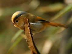 Fulvous Parrotbill,  found in Bhutan, China, India, Myanmar, and Nepal. Its natural habitat is temperate forests     Photo by Sam Woods
