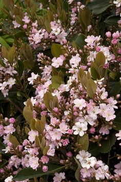 Majestic Beauty® Indian Hawthorn - Monrovia - Majestic Beauty® Indian Hawthorn