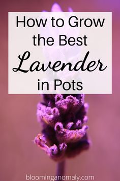 Learn about different types of lavender you can grow and use at home. Plant this herb in pots or garden bed with other plants. Click on the pin to learn more about growing lavender! #growlavender #lavenderplant #lavendergarden #lavenderfields Lavender Uses, Dried Lavender Flowers, Growing Lavender, Lavender Garden, Lavender Sachets, Beautiful Flowers Garden, Amazing Flowers, Gardening For Beginners, Gardening Tips