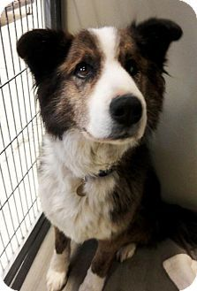 Logan, UT - Border Collie/Australian Terrier Mix. Meet Rusty, a dog for adoption. http://www.adoptapet.com/pet/12430667-logan-utah-border-collie-mix