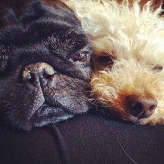 Logan & Zebby #black pug #poodle