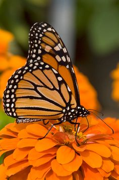 Monarch butterfly • Liz West