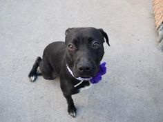 MIDNIGHTLY - A1100256 - - Brooklyn  TO BE DESTROYED 01/09/17: ****PUBLICLY ADOPTABLE**** -  Click for info & Current Status: http://nycdogs.urgentpodr.org/mighnightly-a1100256/