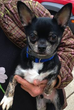 Adoption donation $  499AGE:   1.5 yearsUp to date on all vaccinations and has been fixed.Charlie is an adorable tri colored chihuahua  who was dumped at a high kill shelter after his owners split up. His best friend since puppyhood was the family...