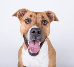 Petango.com – Meet Dela, a 2 years 8 months Hound / Boxer available for adoption in DECATUR, GA