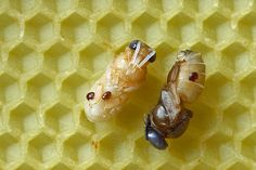 Varroa destructor mite is a nasty life-sucking pest that mostly kills honey bees. Solitary bees aren't affected because they typically aren't accessible in their cocoons. Bee Mites, Les Parasites, Bee Do, Bees Knees, Bee Keeping, Natural Treatments, How To Get Rid, Honey Bees, Homestead