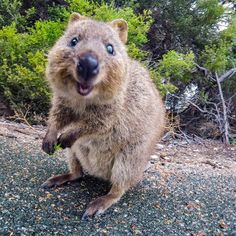 Things that make you go AWW! Like puppies, bunnies, babies, and so on. A place for really cute pictures and videos! Happy Animals, Animals And Pets, Funny Animals, Cute Animals, Beautiful Cats, Animals Beautiful, Quokka Animal, Australian Animals, Little Critter