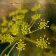 parsnip flower by borealnz