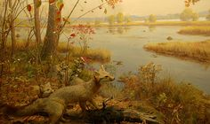 Grey Fox Taxidermy Diorama At the Bell Museum of Natural History in Minneapolis, MN.