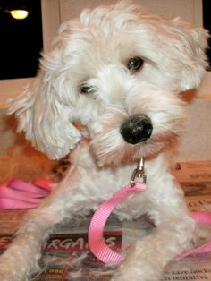 ADOPTED!!!!!!!!       Mabel-t  Poodle • Young • Female • Small  Arizona Poodle Rescue Tucson, AZ