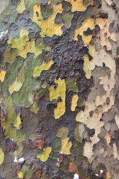 sycamore bark...LOVE our sycamores in the canyon