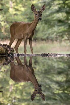Dear deer reflection.
