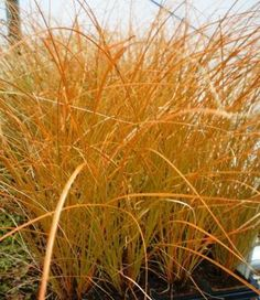 Carex \'Bronze Reflection\' maybe at top of yard along the street ...