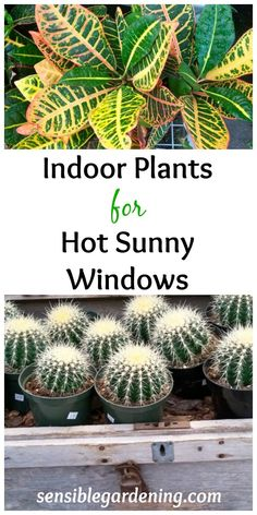 Indoor plants for hot, sunny windows at Sensible Gardening. It may seem like those scorching hot windows are too much but some plants welcome the heat.