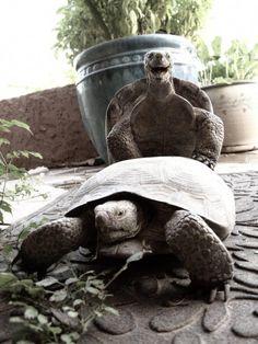 Dirty tortoise sex makes me giggle!