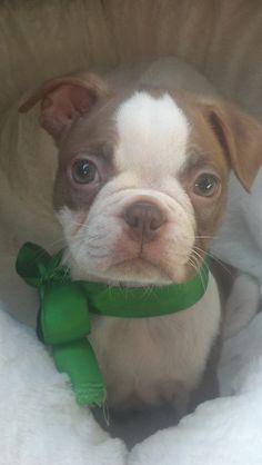 Beautiful Baby Boston Terrier <3
