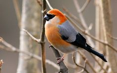 xopark1Bouvreuil-à-tête-rouge—Pyrrhula-erythrocephala—Red-headed-Bullfinch