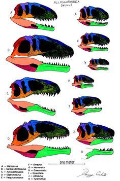 Allosauroidea skull comparison (to scale) by Dennonyx.deviantart.com on @DeviantArt