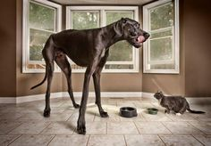 Michigan-based Zeus, a Great Dane, holds the Guinness World Record for 'Tallest Dog'. He measures in at 44 inches tall and weighs 155 pounds.