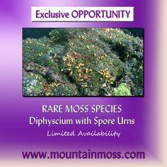 Diphyscium has urns instead of sporophytes! Diy Terrarium Kit, Moss Terrarium, Moss For Sale, Growing Moss, Moss Garden, Common Names, New Growth, Shades Of Green, Gardening