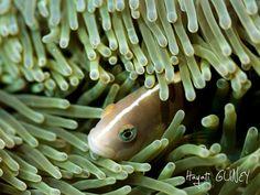 Andaman – Clown Fish
