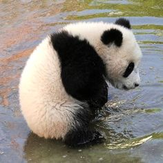 Cute Baby Panda Cub braving the Water for the first time
