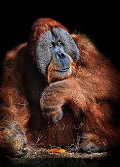 Deep thinker male Bornean Orangutan