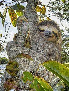 Brown-throated sloth - Wikipedia