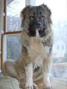 caucasian ovcharka- used to hunt bears/wolves- soviets used as a guard dog. Dog Breeds Pictures, Dog Pictures, Russian Bear Dog, Caucasian Shepherd Dog, Big Dog Breeds, Tibetan Mastiff, War Dogs, Fluffy Dogs, Types Of Dogs