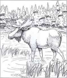 Free Coloring Pages Moose