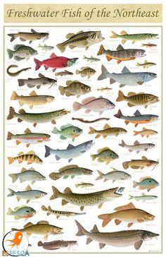 Infografías de peces 42