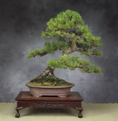 Japanese Black Pine Tree (10 Seeds) #bonsai