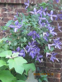 Purple Clematis!