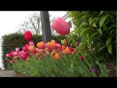 Flower Borders on a Pathway | At Home With P. Allen Smith     Start planning your Tulip garden this fall