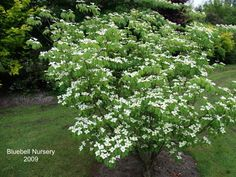 Chinese Flowering Dogwood (x1) - Front bed closest to drivew