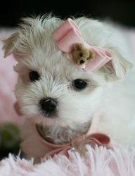 Myrna a Teacup Maltese is For Sale #teacup #puppy #dog #maltese #forsale #cute #teacup #puppy #dog #maltese #forsale